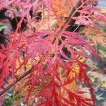 Acer palmatum Dissectum Emerald Lace (2)