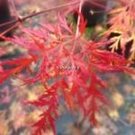 Acer palmatum Dissectum Emerald Lace (3)