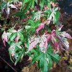 Acer palmatum Orido Nishiki (3)