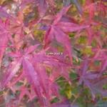 Acer palmatum Ueno Yama (1)