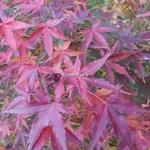 Acer palmatum Ueno Yama (2)