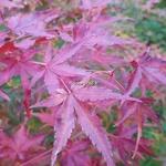 Acer palmatum Ueno Yama (3)