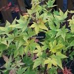 Acer palmatum Winter Flame (2)