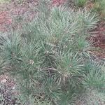 Pinus densiflora Alice Verkade