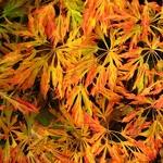 Acer japonicum Green Cascade (4)