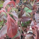 Cornus hongkongensis (2)