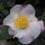 Camellia Cinnamon Scentsation (2)