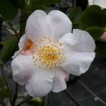 Camellia Cinnamon Scentsation (1)