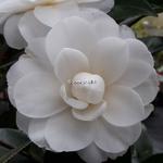 Camellia japonica Angel (2)