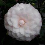 Camellia japonica Nuccios Pearl