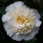 Camellia williamsii Jurys Yellow