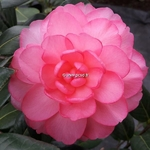 Camellia williamsii Waterlily