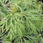 Acer japonicum Green Cascade (1)
