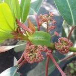 Daphniphyllum macropodum (1)