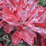 Photinia fraseri Pink Marble (1)