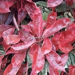 Photinia fraseri Pink Marble (2)