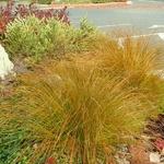 Carex testacea (1)