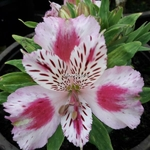 Alstroemeria rose