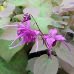 Epimedium grandiflorum Rose Queen (2)