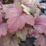 Heucherella Sweet Tea (1)