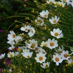 Coreopsis Star Cluster (1)
