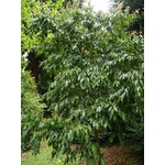 huodendron%20biaristatum%20(1)