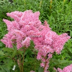 Astilbe Rhythm & Blues (1)