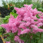Astilbe Rhythm & Blues (2)
