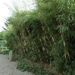 Fargesia robusta Pingwu (2)