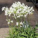 Agapanthus Little Dutch White (1)