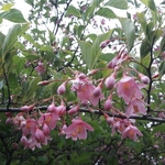 Styrax japonicus Pink Chimes (1)