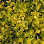 Abelia grandiflora Boule de Feu
