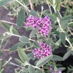 Buddleja alternifolia Unique (1)