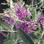 Buddleja alternifolia Unique (2)