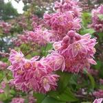 Deutzia hybrida Perle Rose (3)