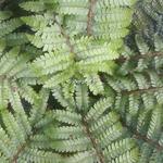 Dryopteris affinis (1)