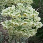 Euphorbia characias Burrow Silver (1)