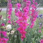 Gladiolus communis ssp. byzantinus (1)