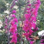 Gladiolus communis ssp. byzantinus (3)