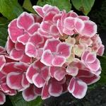 Hydrangea macrophylla Bavaria