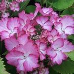 Hydrangea macrophylla French Cancan (2)