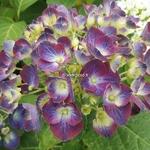 Hydrangea macrophylla Holehird Purple