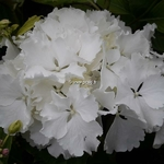 Hydrangea macrophylla Jumbo (1)
