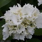 Hydrangea macrophylla Jumbo (3)