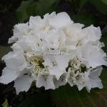 Hydrangea macrophylla Jumbo (4)