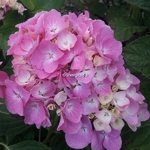 Hydrangea macrophylla Pink Lollipop (1)