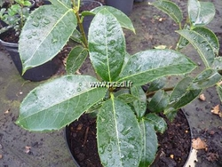 osmanthus-20omeiensis