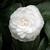 Camellia japonica Nuccio Gem