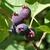 Amelanchier alnifolia (2)