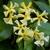 Trachelospermum asiaticum Chili & Vanilla